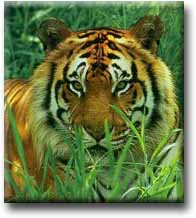 El tigre -  William Blake